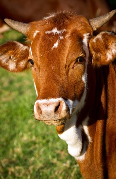 cow-calf-cattle-stock-51311